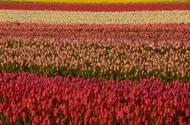 flower bulb fields